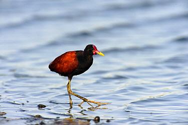 Wattled Jacana (Jacana jacana) wading, Pantanal, Brazil  -  Luciano Candisani
