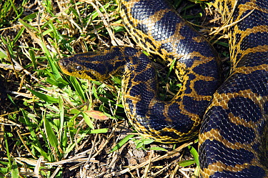 Green Anaconda (Eunectes murinus), Pantanal, Brazil  -  Luciano Candisani