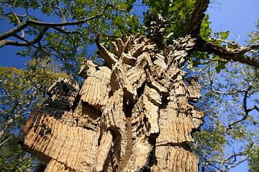 Unusual tree bark, Cerrado ecosystem, Serra do Tombador, Goias State, Brazil  -  Luciano Candisani