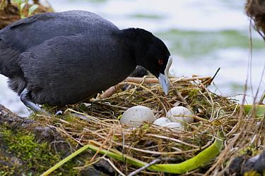 Coot (Fulica atra) parent at nest with eggs, New Zealand  -  Fraser Gunn/ Hedgehog House
