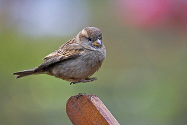 House Sparrow (Passer domesticus) landing, New Zealand  -  Mark Hughes/ Hedgehog House