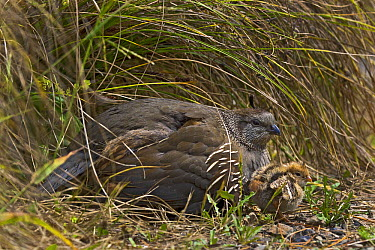 California Quail (Callipepla californica) female and chick, Karori, Wellington, New Zealand  -  Mark Hughes/ Hedgehog House