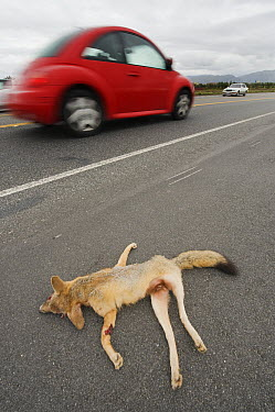 San Joaquin Kit Fox (Vulpes macrotis mutica) nursing female killed on road, Bakersfield, California  -  Kevin Schafer