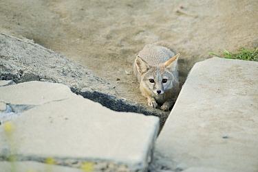 San Joaquin Kit Fox (Vulpes macrotis mutica) at sidewalk den entrance, Bakersfield, California  -  Kevin Schafer