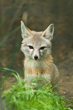 San Joaquin Kit Fox (Vulpes macrotis mutica), Bakersfield, California  -  Kevin Schafer