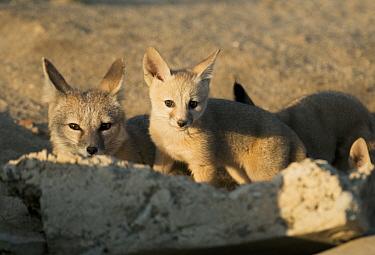 San Joaquin Kit Fox (Vulpes macrotis mutica) mother and pup, Bakersfield, California  -  Kevin Schafer