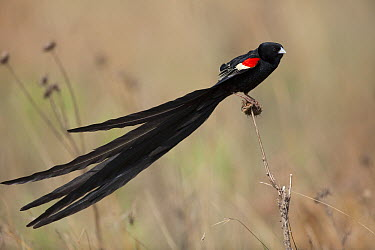 Long-tailed Widow (Euplectes progne) male, Marievale Bird Sanctuary, Gauteng, South Africa  -  Richard Du Toit