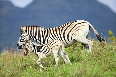 Burchell's Zebra (Equus burchellii) mother and foal, Kwazulu Natal, South Africa  -  Richard Du Toit