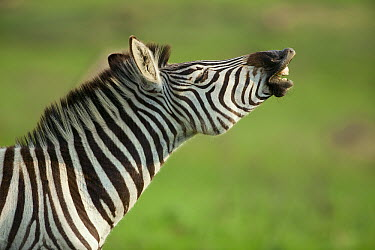 Burchell's Zebra (Equus burchellii) flehming, Kwazulu Natal, South Africa  -  Richard Du Toit