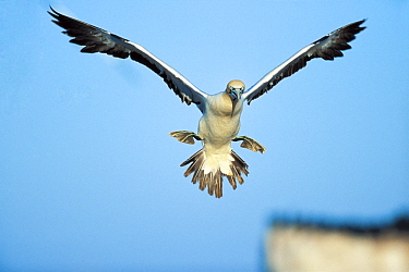 Cape Gannet (Morus capensis) landing, South Africa