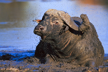 Cape Buffalo (Syncerus caffer) male wallowing in mud, Sabi Sands Private Game Reserve, Mpumalanga, South Africa