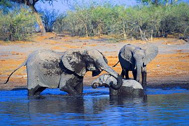 African Elephant (Loxodonta africana) mother helping calf stuck in mud, Khwai River, Botswana