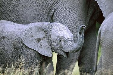 African Elephant (Loxodonta africana) calf smelling the air, Chobe National Park, Botswana