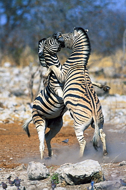 Burchell's Zebra (Equus burchellii) males fighting, Etosha National Park, Namibia