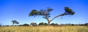 African Elephant (Loxodonta africana) male and Camelthorn Acacia (Acacia erioloba), Chobe National Park, Botswana