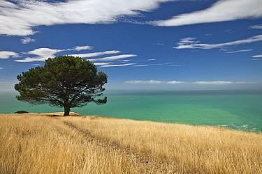 Pine (Pinus sp), Decanter Bay, Canterbury, New Zealand  -  Colin Monteath/ Hedgehog House