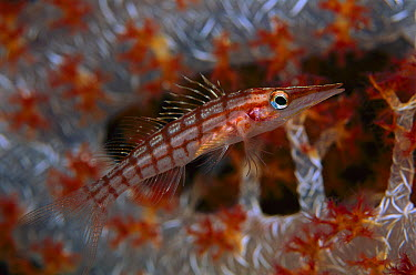 Longnose Hawkfish (Oxycirrhites typus) and Soft Coral (Dendronephthya sp), Solomon Islands  -  Birgitte Wilms