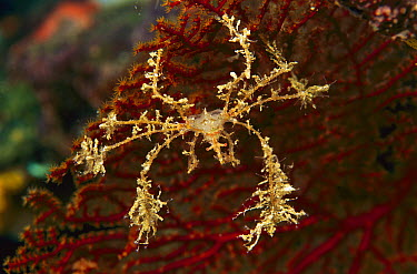 Spider Crab (Macropodia sp), Indonesia  -  Birgitte Wilms