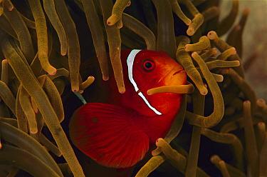 Spine-cheek Anemonefish (Premnas biaculeatus) in anemone, Solomon Islands  -  Birgitte Wilms