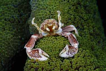 Spotted Anemone Crab (Neopetrolisthes maculatus) feeding feeding on plankton with feather net arms, Solomon Islands  -  Birgitte Wilms