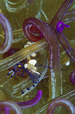 Shrimp (Periclimenes sp) in anemone tentacles, Papua New Guinea  -  Birgitte Wilms