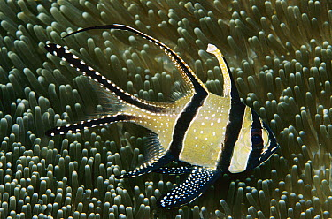 Cardinalfish (Apogon sp), Indonesia  -  Birgitte Wilms