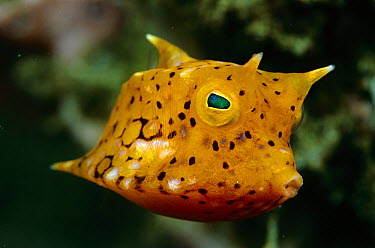 Yellow Boxfish (Ostracion cubicus) juvenile, Papua New Guinea  -  Birgitte Wilms