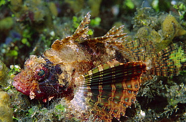 Shortfin Turkeyfish (Dendrochirus brachypterus), Indonesia  -  Birgitte Wilms