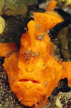 Frogfish (Antennarius sp), Indonesia  -  Birgitte Wilms