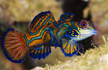 Mandarinfish (Synchiropus splendidus), Indonesia  -  Birgitte Wilms