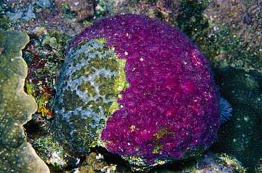 Encrusting sponge on hard coral, Solomon Islands  -  Birgitte Wilms