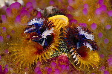 Christmas Tree Worm (Spirobranchus giganteus) pair filter feeding, Solomon Islands  -  Birgitte Wilms