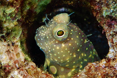 Red-spotted Blenny (Salarias segmentatus)in its burrow, Solomon Islands  -  Birgitte Wilms