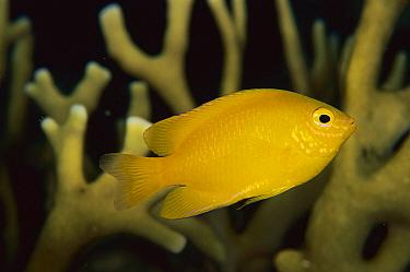 Yellow Damsel (Pomacentrus moluccensis), Solomon Islands  -  Birgitte Wilms