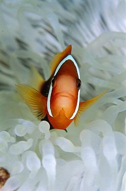 Anemonefish (Amphiprion sp) in host Anemone (Heteractis sp), Papua New Guinea  -  Birgitte Wilms