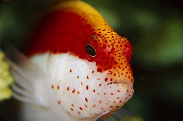 Freckled Hawkfish (Paracirrhites forsteri), Solomon Islands  -  Birgitte Wilms