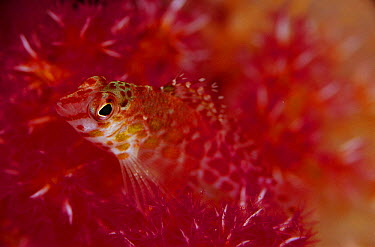 Hawkfish (Cirrhitichthys sp) camouflaged in Soft Coral (Dendronephthya sp), Solomon Islands  -  Birgitte Wilms