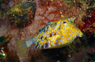 Ray-finned Fish (Ostracion sp), Papua New Guinea  -  Birgitte Wilms