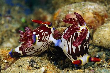 Nudibranch (Nembrotha sp) pair mating, Papua New Guinea  -  Birgitte Wilms