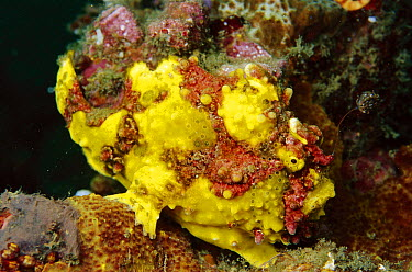 Warty Frogfish (Antennarius maculatus) with lure extended, Indonesia  -  Birgitte Wilms