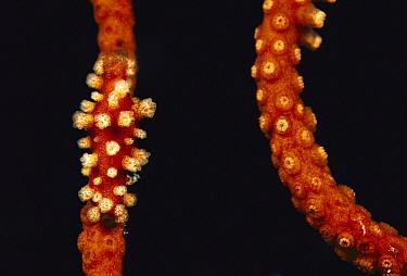 Cowry (Aclyvolva sp) camouflaged on Soft Coral (Ctenocella sp), Papua New Guinea  -  Birgitte Wilms