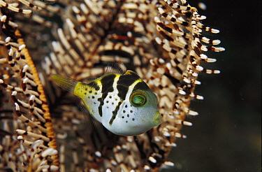Puffer Fish (Canthigaster sp) juvenile, Papua New Guinea  -  Birgitte Wilms