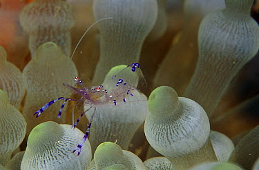 Shrimp (Periclimenes sp) on Bulb Tentacle Sea Anemone (Entacmaea quadricolor) tentacles, Solomon Islands  -  Birgitte Wilms
