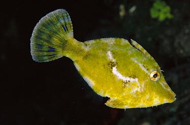 Strap-weed Filefish (Pseudomonacanthus macrurus), Papua New Guinea  -  Birgitte Wilms