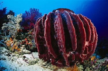 Giant Barrel Sponge (Xestospongia sp), Indonesia  -  Birgitte Wilms