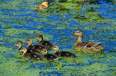 Mallard (Anas platyrhynchos) female with six ducklings, Kensington Metropark, Michigan  -  Steve Gettle