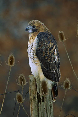 Red-tailed Hawk (Buteo jamaicensis) perching on fence post amid thistles, Michigan  -  Steve Gettle