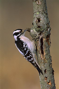 Downy Woodpecker (Picoides pubescens) female, Kensington Metropark, Michigan  -  Steve Gettle