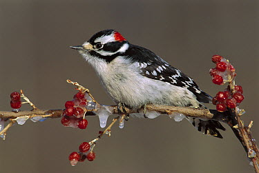 Downy Woodpecker (Picoides pubescens) male, Kensington Metropark, Michigan  -  Steve Gettle