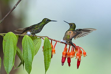 Buff-tailed Coronet (Boissonneaua flavescens) hummingbird pair courting, Bellavista Cloud Forest Reserve, Tandayapa Valley, Ecuador  -  Tui De Roy
